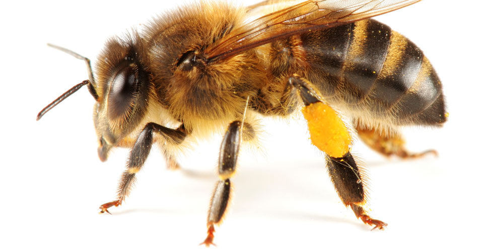 Bee sting vaccine trial holds promise against allergic reactions